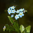 Sumpfvergissmeinnicht; Myosotis palustris;