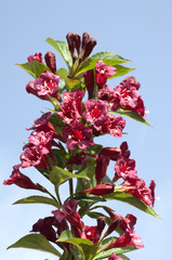 Weigelie; Weigela; florida;