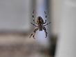cross spider - 69614993