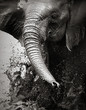 Elephant splashing water