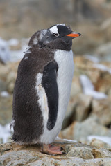 adult moulting Gentoo penguin which stands on the rocks