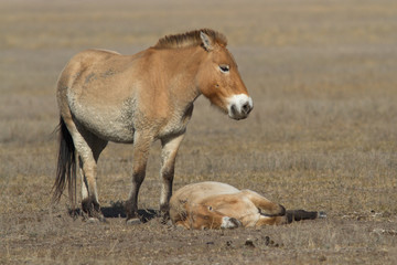 mare and foal Przewalski's horse in the autumn steppe