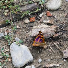 Lesser Purple Emperor butterfly - Apatura ilia.