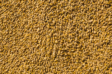 Wheat grains as agricultural background.
