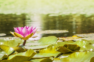 water lily , tonned