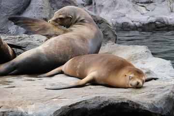 Meeressäuger Robben Seelöwen
