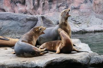Robben Seelöwen