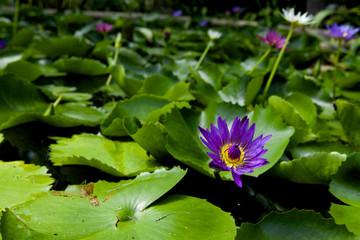 Lotus green area pond.