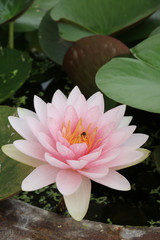 Bee on pink lotus.