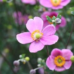 anemone giapponese rosa_ giardino