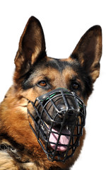 Portrait of German Shepherd isolated