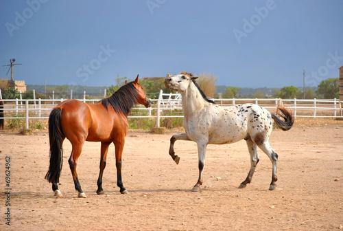 Staande foto Paardrijden spielende Wallache 2
