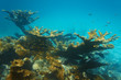 Underwater landscape in a reef with elkhorn coral