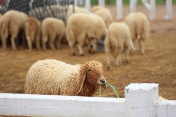 Sheep Farm in Thailand