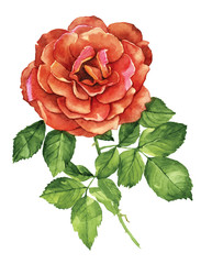 Red rose flower botanical watercolor