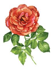 Red rose flower botanical watercolor