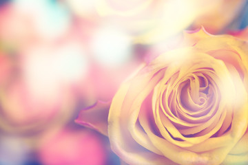beautiful yellow roses with color filters