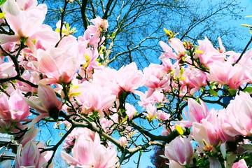 Tulpen-Magnolie (Magnolia × soulangeana)