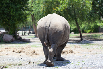 A White Rhinoceros calf in zoo