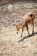 Young Fallow Deer over blurred background