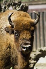 zoo buffalo