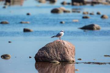 Black-headed gull sitting on a stone