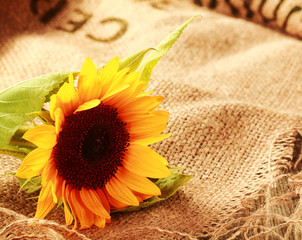 Colorful country background with a sunflower