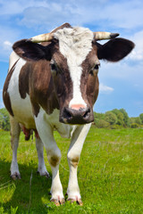The portrait of young cow