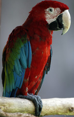 Red-and-green Macaw bird