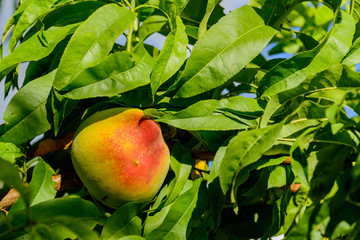 fresh peaches ripening on the orchard tree