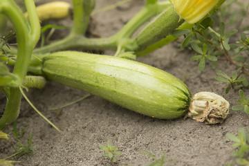 Closeup view of mature zucchini