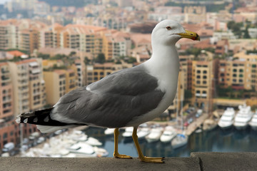 seagull on a background of luxury Monaco