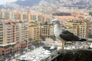 seagull looking at a luxury of Monaco