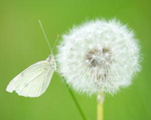 Schmetterling auf einer Pusteblume