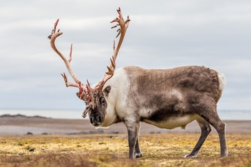 Wild Arctic reindeer preparing to shed his antlers.