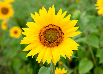 Beautiful sunflower with bright yellow