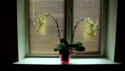 yellow orchid on the window-sill with jalousie horizontal