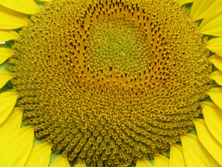 Sunflower. The bright colors of summer.