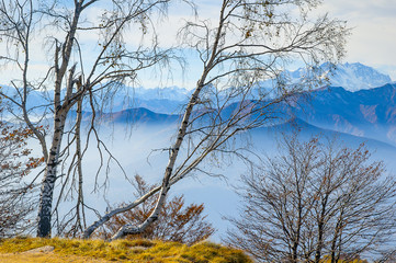 Silver birch trees in the mountains, Mottarone, Italy