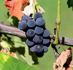 Grappolo di Uva fragola - Vitis labrusca