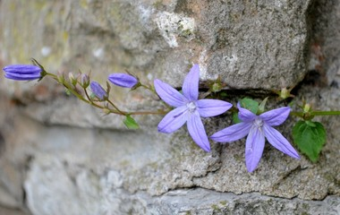Campanula flowers with leaves