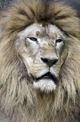 Closeup portrait of Lion