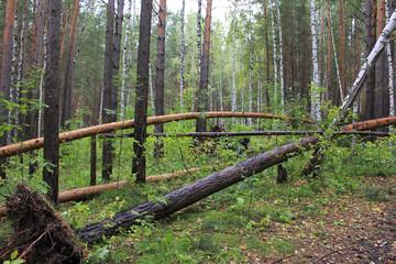 Упавшие сосны в лесу после урагана