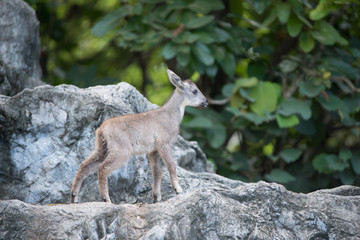 young goral standing on the rock