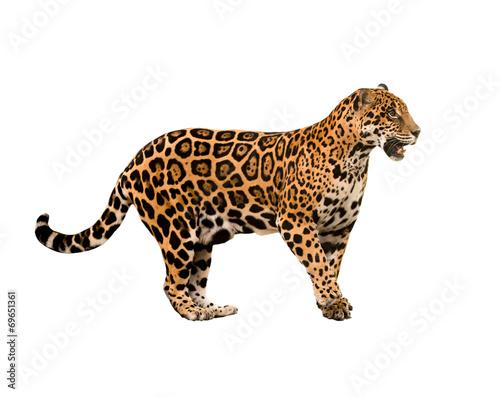 Fotobehang Luipaard jaguar ( panthera onca ) isolated