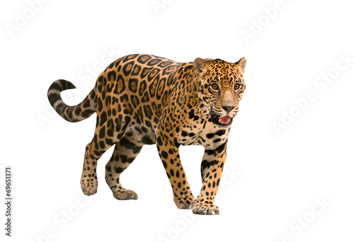 Canvas Luipaard jaguar ( panthera onca ) isolated
