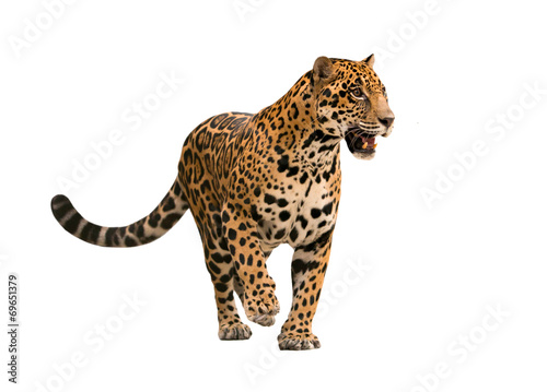 Fotobehang Luipaard jaguar ( panthera onca ) isolated