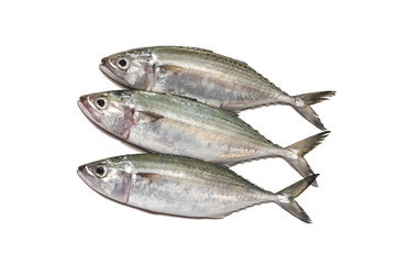 Indian mackerel fresh