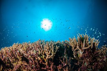 Acropora in Gili Lombok Nusa Tenggara Barat Indonesia underwater