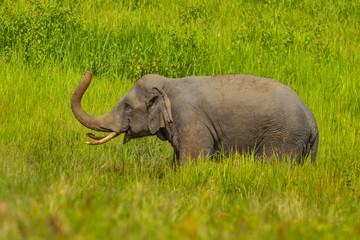 Nature Asian elephant  eating salt lick